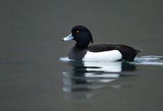 Tufted duck. Swimming on a lake Royalty Free Stock Images