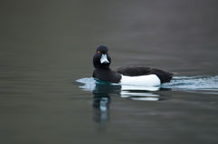 Tufted duck Royalty Free Stock Photography
