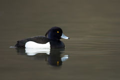 Tufted duck. Swimming on a lake Royalty Free Stock Photos