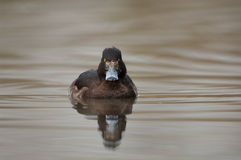 Tufted duck Stock Images