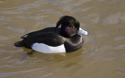Tufted Duck. With deep black plumage and purple neck feathers Stock Image