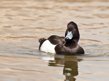 The Tufted Duck Stock Photos