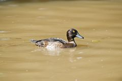 Tufted duck Royalty Free Stock Photo