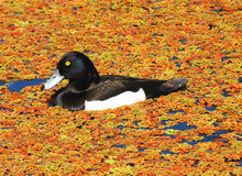 Tufted Duck. (Male) swimming on a lake and surrounded colorful moss Royalty Free Stock Image