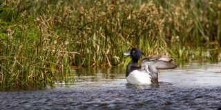 Tufted Duck. Adult Male Tufted Duck Flapping Wings In Pond Lined With Reeds, Photographed At Vadso, Norway Royalty Free Stock Photo