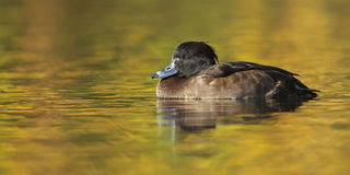 Tufted Duck Royalty Free Stock Images