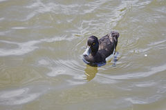 Tufted duck. Aythya fulgulis,Drake swimming in a pond Royalty Free Stock Photography