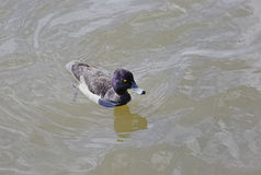 Tufted duck. Aythya fulgulis,Drake swimming in a pond Royalty Free Stock Photo