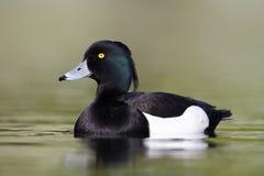 Free Tufted Duck, Aythya Fuligula Stock Images - 32326764