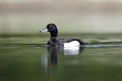 Free Tufted Duck, Aythya Fuligula Royalty Free Stock Photography - 36666817