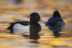 Tufted duck Aythya fuligula - adult male and female swimming on water Stock Image