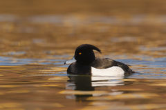Tufted duck Aythya fuligula - adult male swimming on water Royalty Free Stock Photos