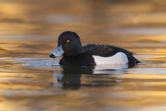 Tufted duck Aythya fuligula - adult males swimming on water Royalty Free Stock Image