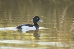 Tufted duck, Aythya fuligula Stock Image