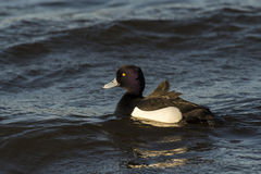 Tufted Duck Royalty Free Stock Photos