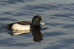 Tufted Duck Stock Image