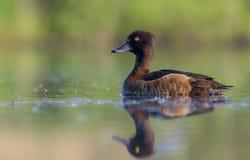 Tufted Duck - Aythya fuligula - female Stock Images