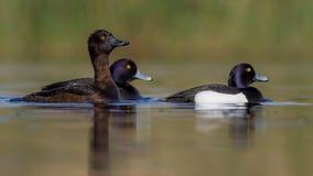 Tufted Duck - Aythya fuligula Stock Image