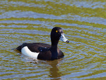 Tufted Duck - Aythya fuligula. Male Tufted Duck with drops of water Stock Images