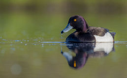 Tufted Duck - Aythya fuligula - male Stock Images