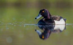 Tufted Duck - Aythya fuligula - male stock images