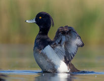 Tufted Duck - Aythya fuligula - male. Near the nesting place at swamp. Waving wings Stock Photography
