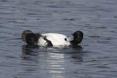 Tufted duck, Aythya fuligula Royalty Free Stock Image