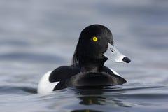 Tufted duck, Aythya fuligula Royalty Free Stock Photo