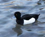 Tufted duck Aythya fuligula. Over the water background Stock Photos