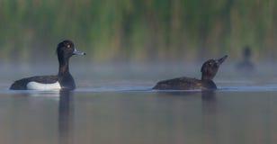 Tufted Duck - Aythya fuligula - pair Stock Photos