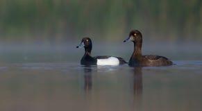 Tufted Duck - Aythya fuligula - pair Stock Image