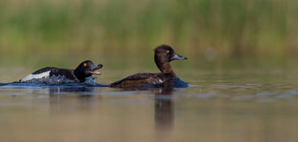 Tufted Duck - Aythya fuligula - pair Royalty Free Stock Images