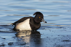 Tufted duck, Aythya fuligula, single male. Climbing up onto ice, Lothian, Scotland, winter 2009 Royalty Free Stock Image