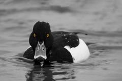 Tufted duck, Aythya fuligula, single male on water,. Tufted duck, Aythya fuligula, single male on water Royalty Free Stock Images