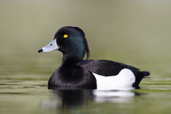 Tufted duck, Aythya fuligula. Single male on water, London,  April 2011 Stock Images