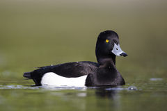 Tufted duck, Aythya fuligula. Single male on water, London,  April 2011 Royalty Free Stock Image