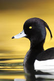 Tufted duck, Aythya fuligula. Single male on water with yellow reflection Royalty Free Stock Photography