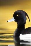 Tufted duck, Aythya fuligula Royalty Free Stock Photography