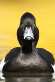 Tufted duck, Aythya fuligula Royalty Free Stock Images
