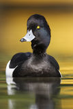 Tufted duck, Aythya fuligula. Single male on water with yellow reflection, London,  April 2011 Royalty Free Stock Images