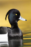 Tufted duck, Aythya fuligula. Single male on water with yellow reflection, London,  April 2011 Stock Image