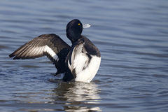 Tufted duck, Aythya fuligula Stock Images