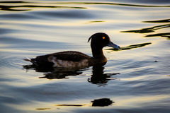 Tufted duck (Aythya fuligula). A small diving duck in the swimming on a lake in central London Stock Photos