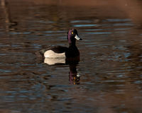 The Tufted duck, Aythya fuligula Royalty Free Stock Photos