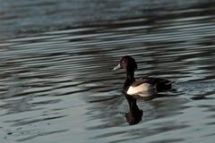 The Tufted duck, Aythya fuligula Stock Image