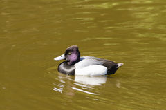 Tufted Duck - Aythya fuligula Stock Image