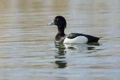Tufted duck (Aythya fuligula) Royalty Free Stock Image