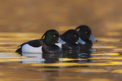 Tufted duck Aythya fuligula - three adult males swimming on water Stock Image