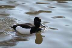 Tufted Duck. Royalty Free Stock Images