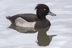 A tufted duck on Southampton Common stock image
